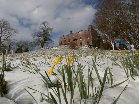 Spring snow on daffodil hill