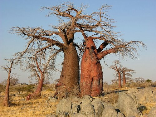 Mr and Mrs Baobab